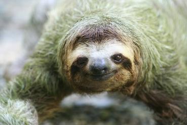 sloth-closeup